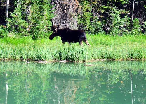 Utah moose