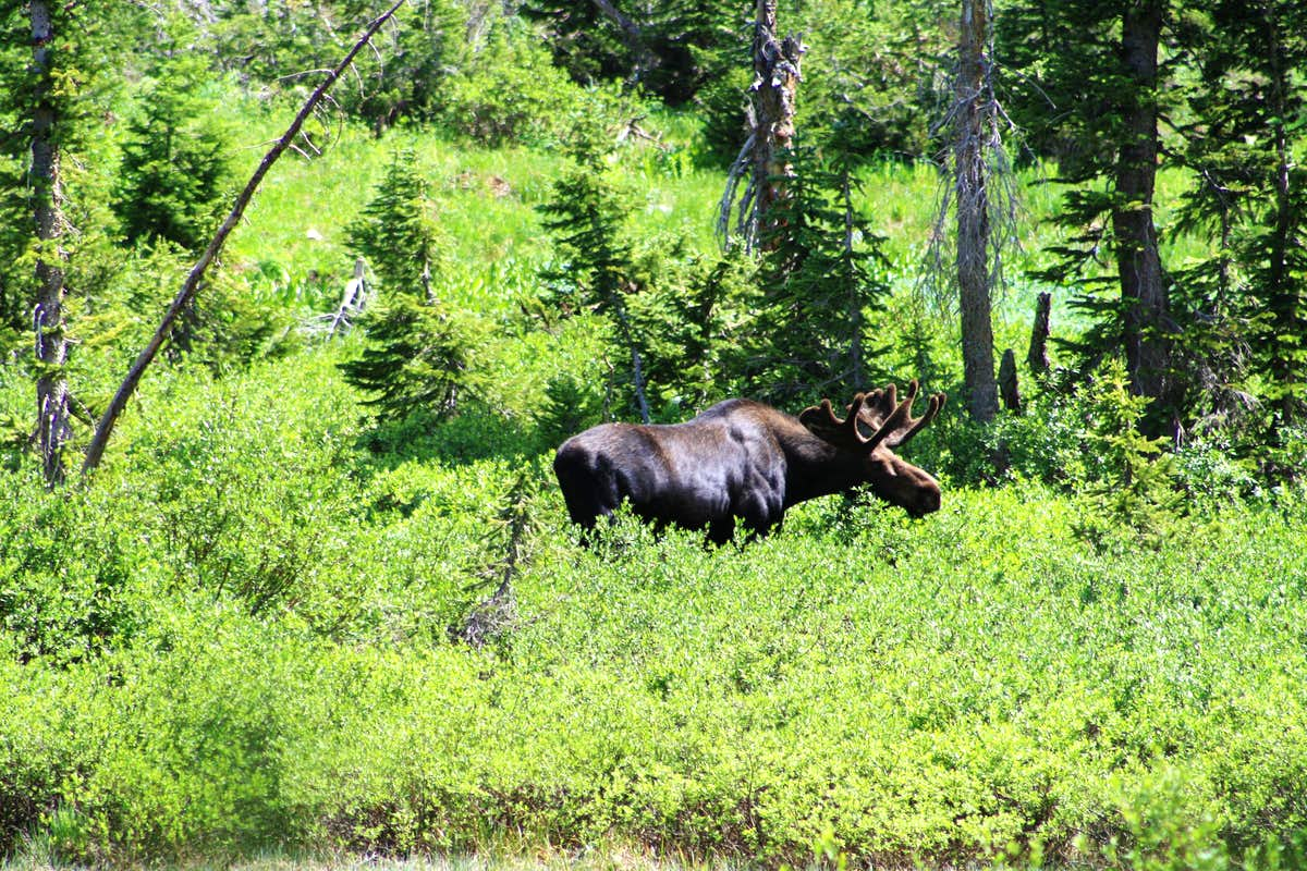 A Big Bull Moose at Dog Lake