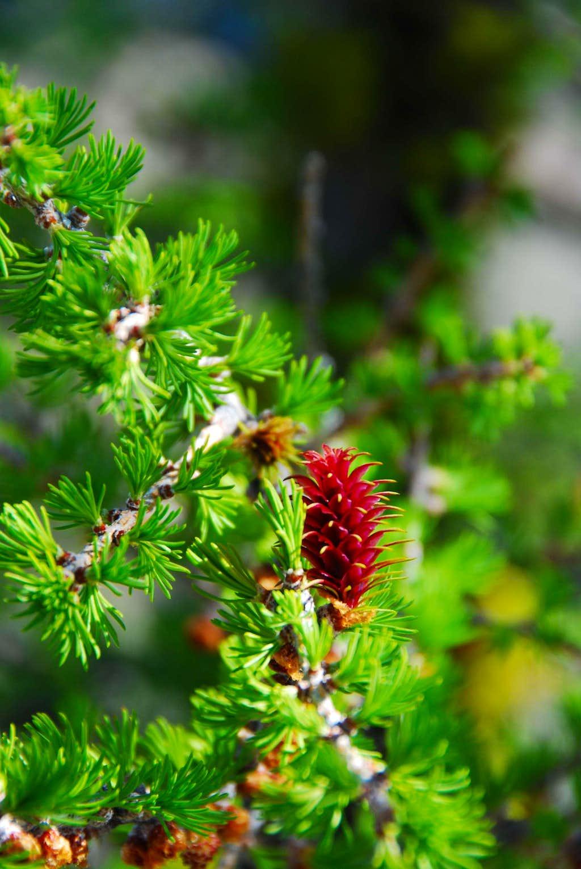 Alpine Larch Cones