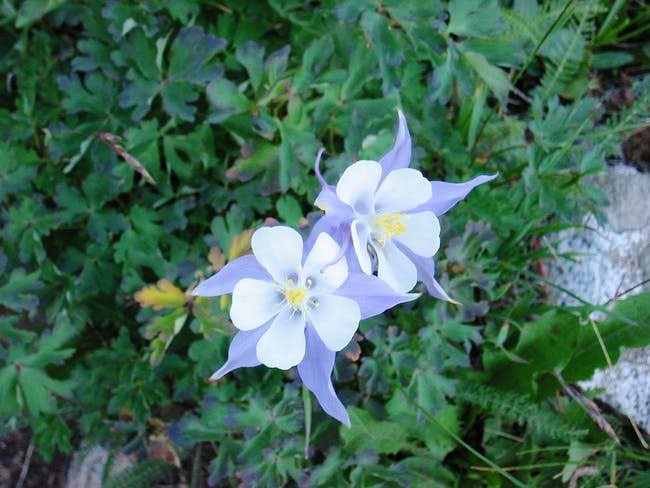 Columbines on the way up to...