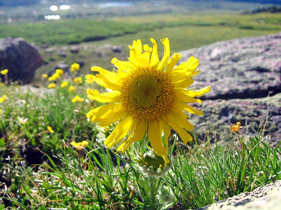 Sunflower in the High Uintas