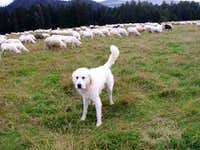 Tatra sheep-dog...