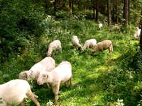 Sheep grazing on a...