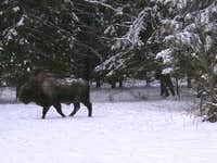 European bison in enclosure