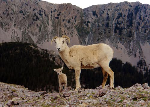 Bighorns on the west ridge of Chimayosos Peak #1