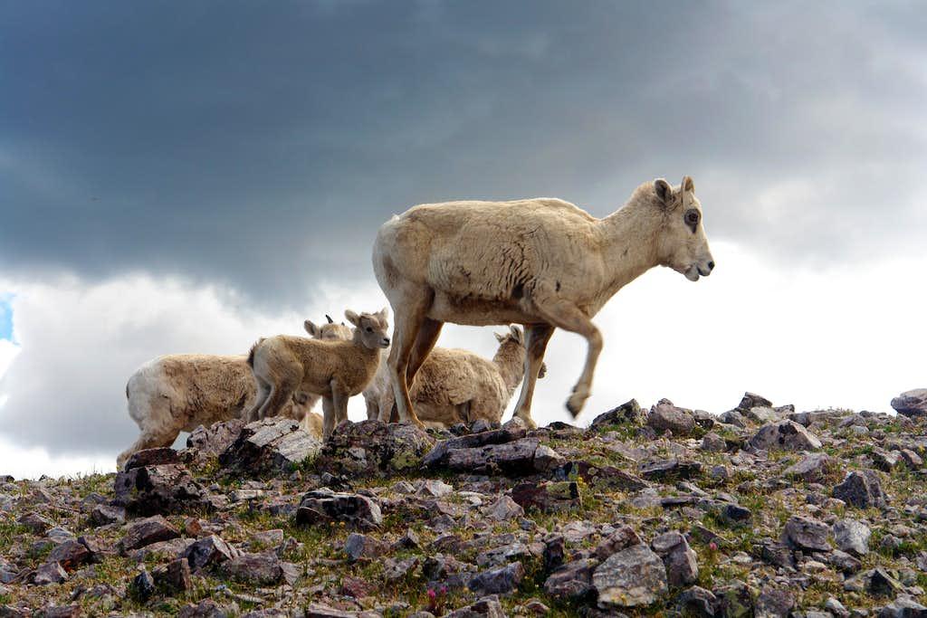Bighorns on the west ridge of Chimayosos Peak #4