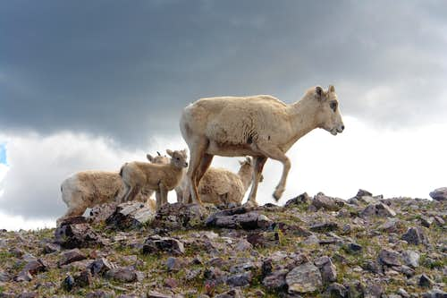 Bighorns on the west ridge of Chimayosos Peak #4