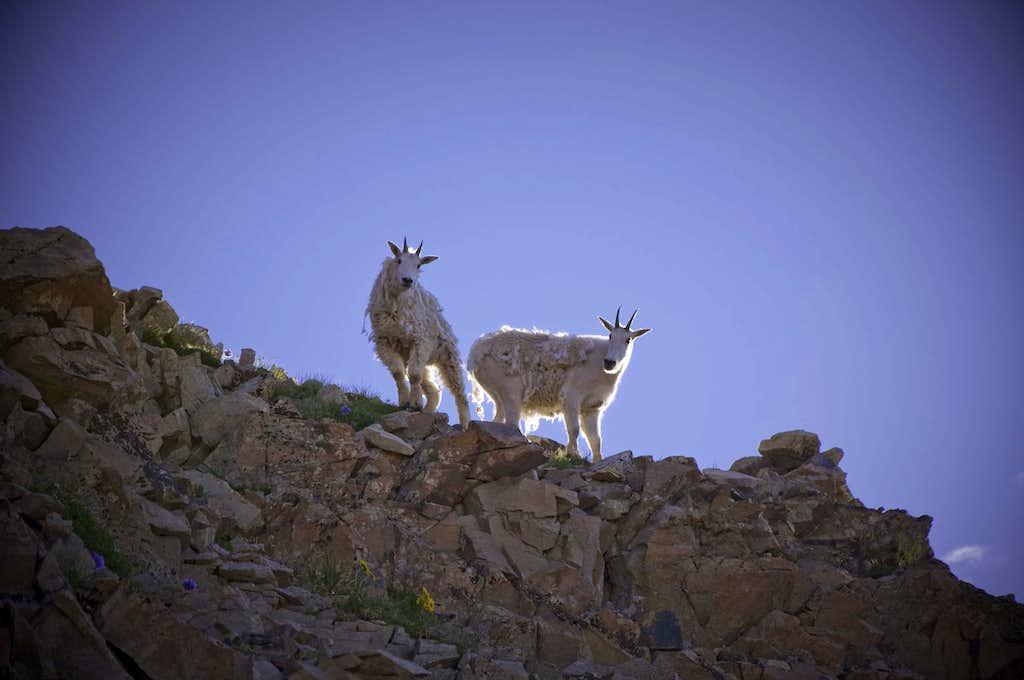 Maroon Peak Goat Patrol