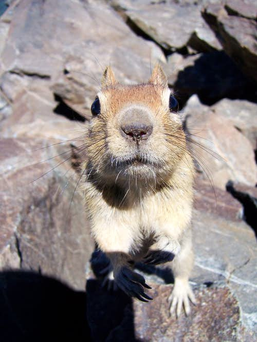 A Golden-Mantled Ground Squirrel on the summit of Mount Tallac