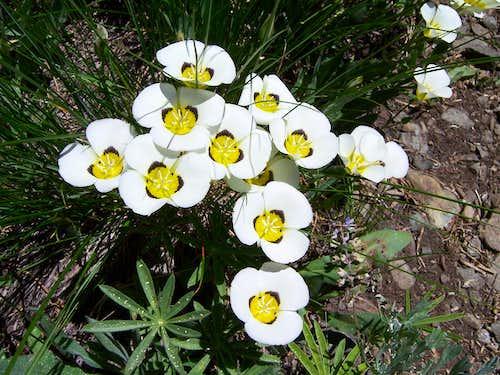 Calochortus leichtlinii on Mount Tallac's summit plateau