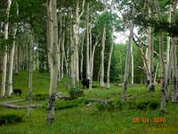 Cattle in an aspen glade