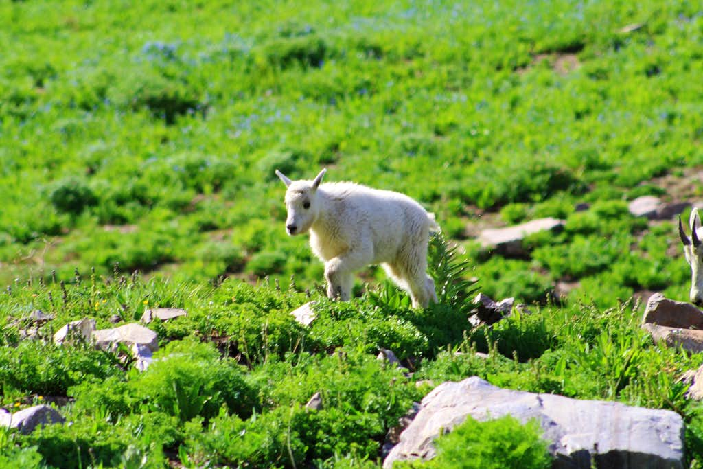 Baby Mountain Goat up close on TimpanogosBaby Mountain Goat