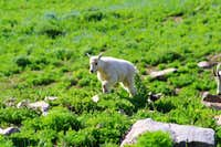 A Baby Mountain Goat up close on Timpanogos