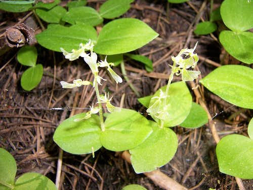 Listera convallarioides, Broad-Leaved Twayblade Orchid on the Rocky Canyon trail
