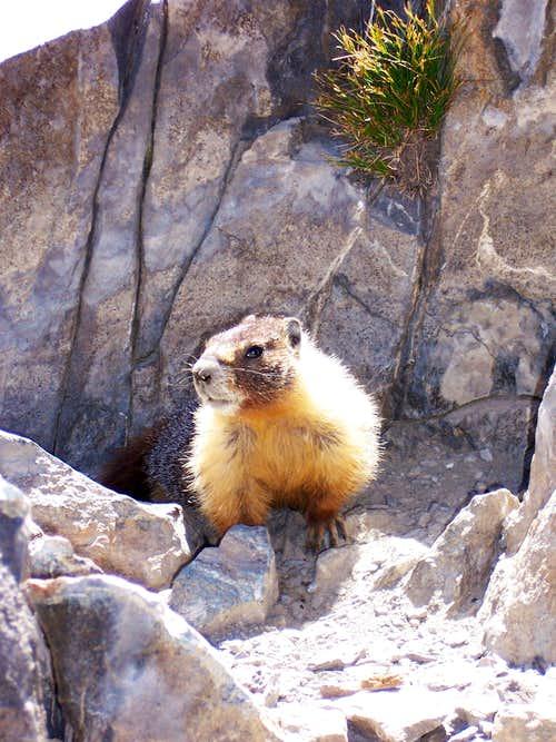 A Marmot on Mount Tallac