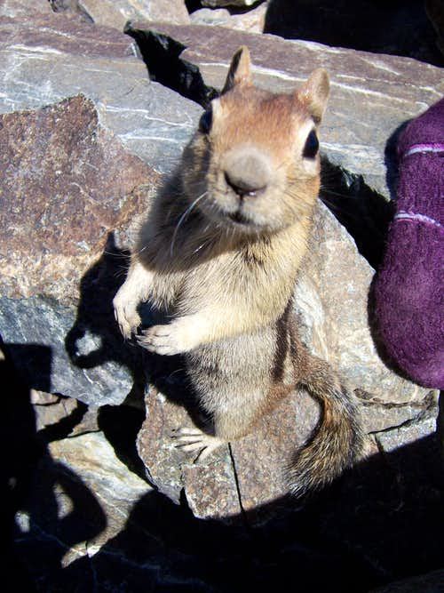 A bold Golden-Mantled Ground Squirrel on the summit of Mount Tallac