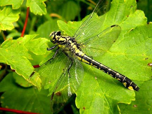 Dragonflies (and similar)