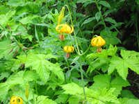 Alpine Flowers...Lake Ann Trail