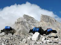 Yaks en route to Cho Oyu ABC