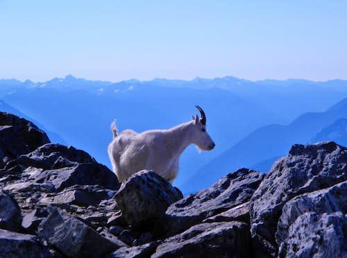 Cascades Goat