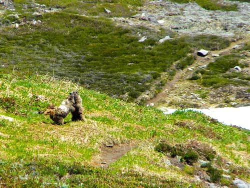 Cascade  Marmots Dancing