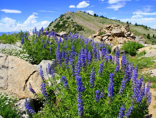 Mt Wolverine through the Lupines