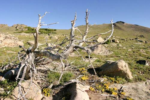 A dead twisted pine on the...