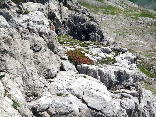 A bush of alpine rhododendrons amidst the rock