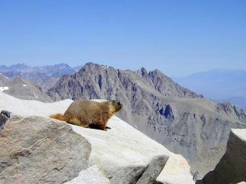 A marmot considering the long...