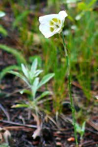 Sego Lily on Deer Mountain