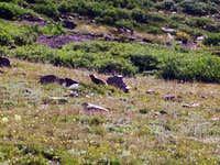 Marmots, Gunsight Pass