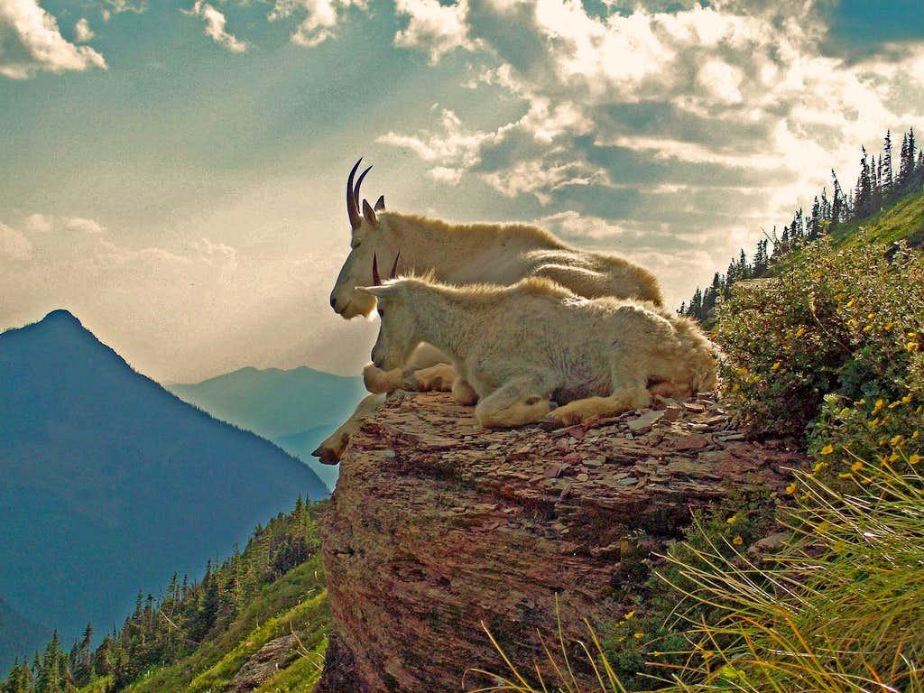 Glacier's Goats