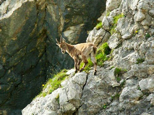 Young ibex in the Triglav National Park