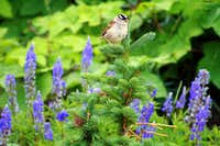 A white-crowned sparrow with some Lupines