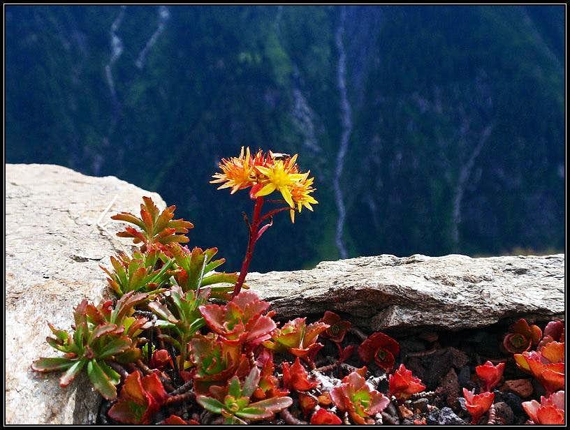 Alpine flower on Filzenalm