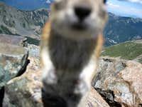 Golden-mantled ground squirrel attack