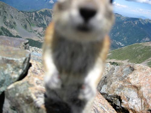Golden-mantled ground squirrel attack
