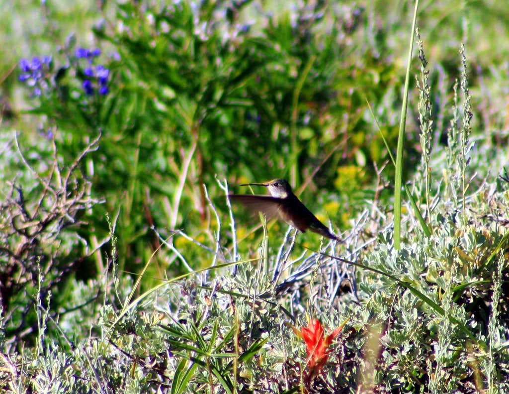 A humming bird on The Butterfield Peaks