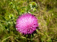 Thistle at Cascade Springs