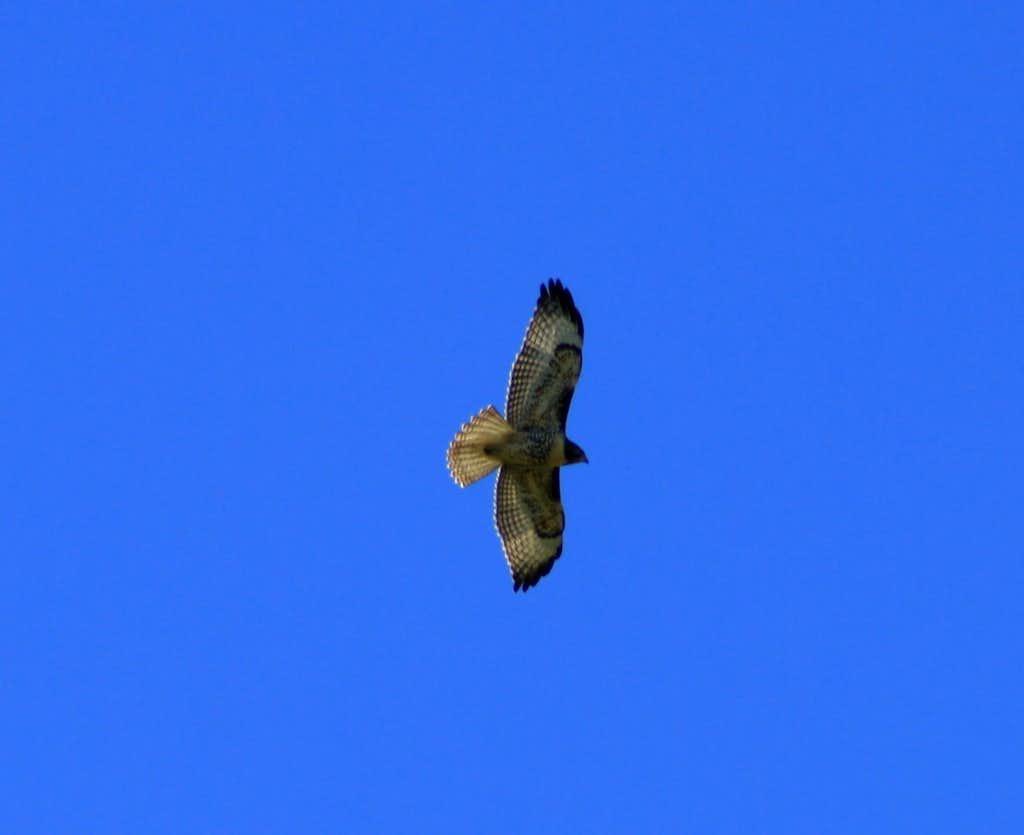 A hawk flying above The Butterfield Peaks