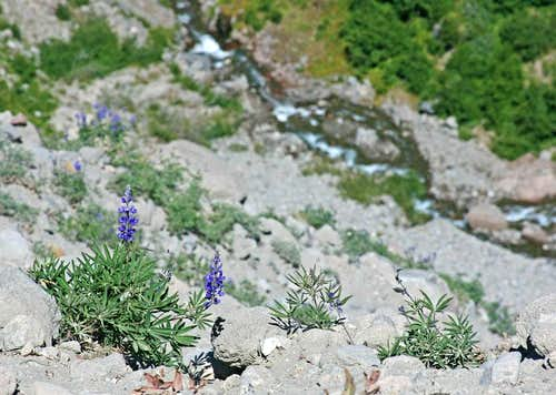 Lupine above Zig Zag Canyon
