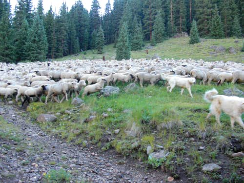 Sheep in the Uncompahgre Wilderness