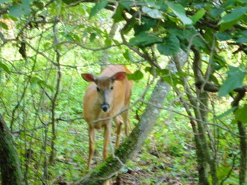 A deer sits in the woods, not...