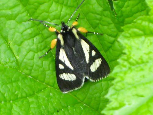 Androloma maccullochii