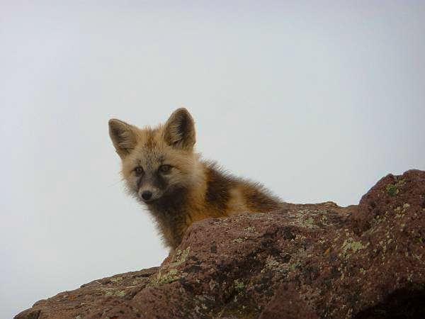 Baby Fox