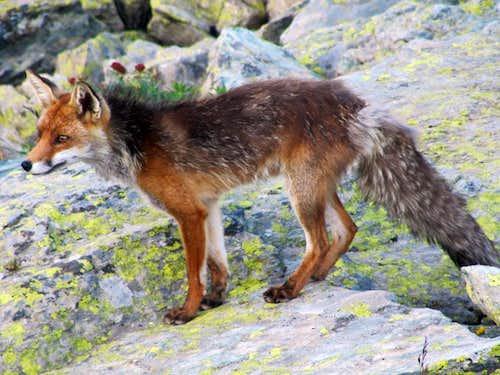 Fox of Monviso