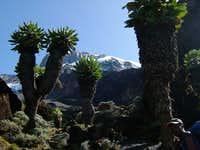 Kilimanjaro Through The Giant Lobelia