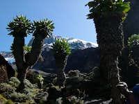 Kilimanjaro Through The Giant Lobelia