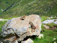 Marmots playing