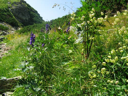 Silene and Aconitum species on the shore of Mija lake